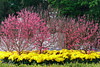 DSC02867_DxO (wut88) Tags: plumblossoms