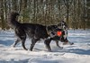 Jack and Callie (Chris Willis 10) Tags: dogssnow dog snow pets winter animal outdoors canine purebreddog nature friendship cute fun coldtemperature mammal playing domesticanimals playful white fur puppy jack callie