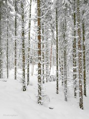 A bunch of happy dudes (evakongshavn) Tags: trees tree forest wald arbre snow coth5 winter winterwonderland winterwald winterish hivernal hiver neige new light white bianco blur landscape landschaft natur nature ethereal earthnaturelife beautifulearth heavenonearth earthswonder lifethroughahole