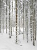 A bunch of happy dudes (evakongshavn) Tags: trees tree forest wald arbre snow coth5 winter winterwonderland winterwald winterish hivernal hiver neige new light white bianco blur landscape landschaft natur nature ethereal earthnaturelife beautifulearth heavenonearth earthswonder