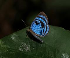 Semomesia croesus (Camerar 4 million views!) Tags: butterfly peru riodinidae semomesiacroesus butterflies insect