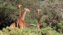 Samburu National Reserve, Kenya (mortenekstrøm) Tags: samburu kenya giraffe