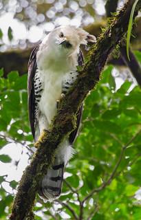 Ornate Hawk-Eagle  juvenile