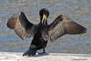Scratch and preen... (danielusescanon) Tags: wild animal doublecrestedcormorant phalacrocoraxauritus suliformes phalacrocoracidae oceansideharbor california birdperfect