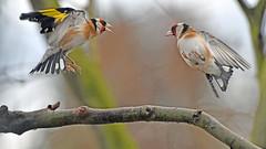 kleine Kämpfer   2 (karinrogmann) Tags: distelfinken goldfinchs cardelini