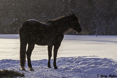cheval en hiver (myles_gary) Tags: hiver cheval