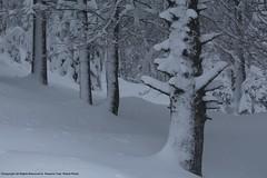 (Visit! planetphoto.fr.ht) Tags: pananorama gel froid hiver winter blanc white snows snow neige neiges nature natur greatnature natura natural arbre arbes bosque bosques forêt sapin hauteur aventure glace ice suisse switzerland switzera epine vert green chauxdefond neuchâtel extérieur monochrome conifère pin plante ciel paysage bois