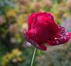Rose in November Rain (seidersepp) Tags: rose plant november rain