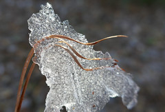Pine needles pierce a layer of ice (Monceau) Tags: frozen ice pine needles pierced macro thin melting curves likeglass