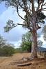 Stand Strong (cupitt1) Tags: nsw new south wales australia rouchel upper davis ck creek huntervalley drought landscape weather dry tree gumtree eucalyptus fence paddock log bark barren