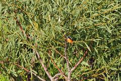 Kingfisher_Branch_2 (hawaza) Tags: bird birds kingfisher riaformosa algarve portugal tree
