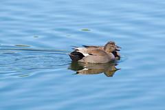 Gadwall_Male_and_Female (hawaza) Tags: bird duck birds ducks gadwall male female lake swimming riaformosa algarve portugal