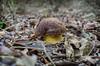 Boletus lepidus (babajuanne) Tags: mushrooms mushroom funghi funghidisardegna fungo boletus bosco sottobosco lecceta sardegna sardinia