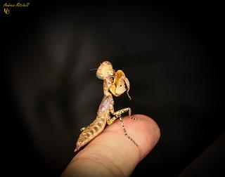 Tarachodula pantherina (Panther Mantis)