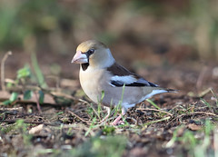 Hawfinch 014-1 (cwoodend..........Thanks) Tags: wildlife forest hawfinch coccothraustescoccothraustes finch fringillidae