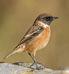 JWL5264  Stonechat... (jefflack Wildlife&Nature) Tags: stonechat stonechats chats birds avian animal animals wildlife wildbirds wetlands countryside coastalbirds copse moorland marshland heathland hedgerows gorse glades nature songbirds ngc coth5 npc