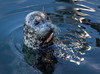 Common or Harbour Seal (Phoca vitulina) (Julian Chilvers) Tags: victoria mammal reflection vancouverisland canada seal britishcolumbia animal