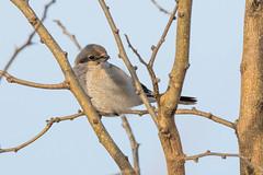 Northern Shrike (Nic.Allen.Birder) Tags: bird kansas northern shrike osage county wildlife outdoor nature avian