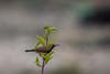 Olive-backed sunbird (Male) (Jnarin) Tags: cinnyrisjugularis kualagulabirdsanctuary malaysia nectariniidae olivebackedsunbird peninsularmalaysia yellowbelliedsunbird
