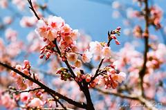 寒櫻 (紅襪熊(・ᴥ・)) Tags: fujica st705 m42 底片機 底片 銀鹽 fujifilm fuji fujicast705 film photography meyeroptikgörlitzoreston50mmf18zebra meyeroptik görlitz oreston 50mmf18 zebra 50mm f18 meyeroptikgorlitzoreston50mmf18zebra gorlitz meyeroptikgörlitzoreston50mmf18 bokeh rossmann 200 rossmann200 sakura 櫻 櫻花 cherryblossoms pink flower flowers blossom blossoms cherry cherryblossom cherryblossomfestival garden macro nature plant sky spring travel tree trees white さくら サクラ 春 桜 花 花見 賞櫻 japan 粉 粉紅 平菁街 陽明山平等里 寒櫻