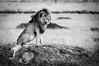 King (Scar) & Queen (MWVVerb) Tags: 2015 kenya mara masai migration triangle wildeye