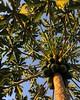 Papaya at Sundown (ggppix) Tags: honolulu hawaii oahu sunlight sun tropical branches fruit tree papaya