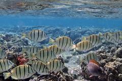 convict tang: Acanthurus triostegus (kris.bruland) Tags: convicttangacanthurustriostegus acanthuridae acanthurustriostegus kahaluubeachpark convicttang tang surgeonfish manini kailuakona kona northkona keahou westhawaii hawaiicounty bigisland coral hawaii hawaiian creature reef pacific ocean scuba sea snorkel underwater snorkeling tropical dive diver diving ecology ecosystem environment environmental fish krisbruland ichthyology ichthyologist island islands marine nature organism outdoor saltwater science undersea vertebrate water zoology life sandwich animal aquatic biology