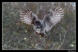 Great Grey Owl-3
