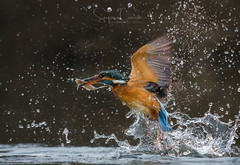 SPARKLING WATER (Stephen Hunt61) Tags: kingfisher birds bird caught fishing fish fisherman wildlife wings wild wildanimal wilderness water drops splatters action motion nature hungry natural martinpescatore pesce uccelli natura pesca cattura stefanocaccia