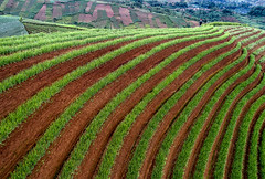 Aerial view of Onion field patterns_DJI_0022 (PRADEEP RAJA K- https://www.pradeeprajaphotos.com/) Tags: indonesia landscape nature java view westjava green agriculture plant plantation beautiful aerialview onion farm field farmer farming pattern farmland natural food fresh indonesialandscape vegetable outdoor garden mountain travel organic hill terrace land asia background valley row growth leaf grow morning season shallot aerial tree hut fields healthy rural countryside aeriallandscape argapura majalengka mount east west asian terraced spring scenic scenery people technology traditional water onionfarmer blue grass harvest tourism soil island foggy