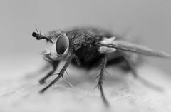 fly (szsuzsa7) Tags: fly eye macro animal nikon3200
