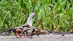 040.4 Orinocogans-20171112-J1711-67128 (dirkvanmourik) Tags: aves birdsofperu gansodelorinoco manuriver manureservedzone neochenjubata orinocogoose orinocogans parquenacionaldelmanu peru2017 rainforest tropischregenwoud vogel