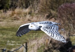 Snowy Owl (Albatross Imagery) Tags: followme snowbirds snowanimals white birdphotography digitalphotography nikkor d500 nikond500 follow feathers flight nikonphotography nikon eyes owleyes gorgeous beautiful photographer photo photography animal flickr instagram raptorsinflight owlsinflight birdsinflight thehawkconservancy bird birds birdsofprey birdofprey raptor raptors owls owl snowyowl
