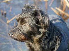 Buddylein auf dem Eis ❤ (BrigitteE1) Tags: buddy buddylein semkenfahrt eis ice bremen germany hund dog deutschland winter