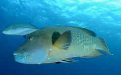 009_adj_DSC_8156 (edpdiver) Tags: scuba diving coral reef indonesia rajaampat misool