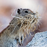 Gopher - Yosemite National Park thumbnail