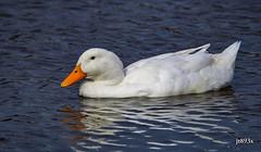 Pekin (jt893x) Tags: 150600mm bird d500 duck jt893x nikon nikond500 pekinduck sigma sigma150600mmf563dgoshsms alittlebeauty coth thesunshinegroup coth5