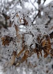 Nature cristallisée (YVDB7) Tags: neige cristaux glace branche nature