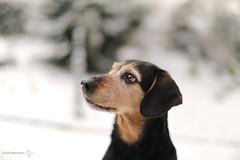 Oh, a snowflake! (lichtspuren) Tags: lemmy lemmel hellenichound harehound jagdhund bracke braque griechischebracke blackandtan eyes augen snowflake schneeflocke lichtspuren littledoglaughedstories mela