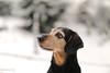Oh, a snowflake! (lichtspuren) Tags: lemmy lemmel hellenichound harehound jagdhund bracke braque griechischebracke blackandtan eyes augen snowflake schneeflocke lichtspuren