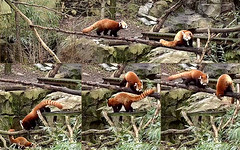 Nutmeg (Bei Bei's sleeping in late so we're on the Panda Cam son. Behave yourself!) & Jackie (I follow your lead Mama.) 2018-02-26 at 8.10.48 AM (MyFoto:)) Tags: ccncby redpanda endangered vulnerable nutmeg jackie smithsonian nationalzoo climbing