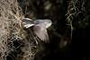Silver Bullet (gseloff) Tags: bluegraygnatcatcher bird flight bif nature wildlife animal spanishmoss horsepenbayou pasadena texas bayou kayak gseloff
