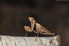 Stagmomantis domingensis (juan.sangiovanni) Tags: mantis stagmomantis domingensis arthropoda pterygota neoptera dictyoptera mantodea mantidae isla beata