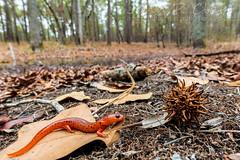 Eastern Mud Salamander (Pseudotriton montanus montanus) (John P Clare) Tags: blackspots easternmudsalamander pseudotritonmontanusmontanus red amphibian green moss newt salamander spotting