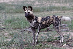 African Wild Dog - Lycaon (happybirds.ch) Tags: afriquedusud africa south kruger national park knp wild sauvage nature happybirds mammal mammifère wilddog lycaon chiensauvage african africain ngc
