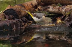 Grey wagtail pond reflection  (3) (Simon Dell Photography) Tags: grey wagtail pond reflection winter autumn nature bird wildlife uk england simon dell photography sheffield s12 shirebrook valley wild animal english country garden rspb
