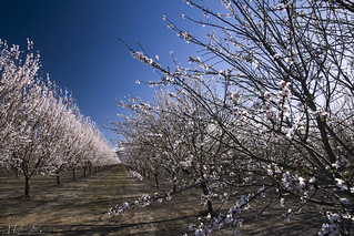 Almond Blossoms in the Valley Farm