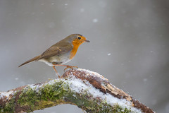 Robin Redbreast in Snow (www.andystuthridgenatureimages.co.uk) Tags: robin redbreast thrush winter snow ice snowing snowstorm tree perch