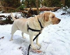 Gracie standing near the creek (walneylad) Tags: gracie dog canine pet puppy cute lab labrador labradorretriever february winter morning westlynn snow stick