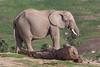 African Elephant (ToddLahman) Tags: africanelephant elephants elephant elephantvalley sandiegozoosafaripark safaripark canon7dmkii canon canon100400 closeup outdoors mammal beautiful tusk